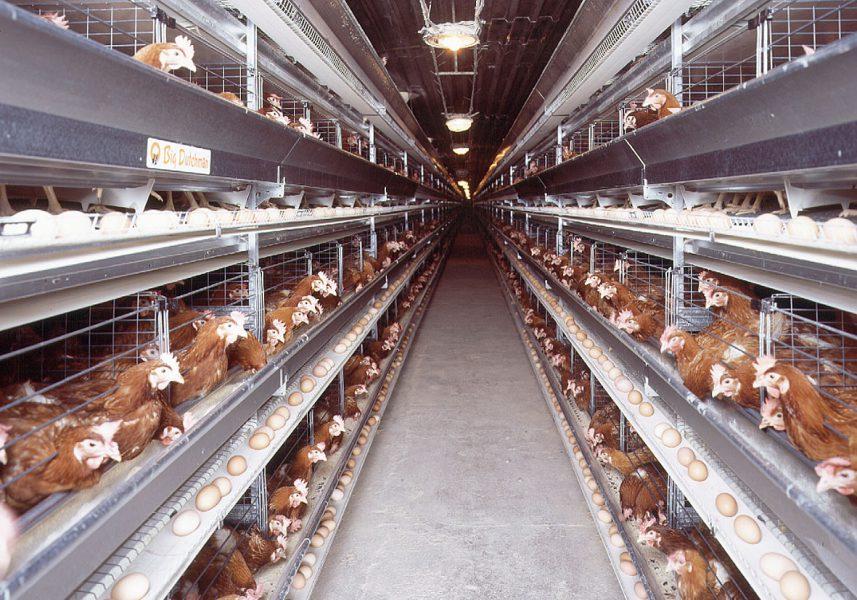 """Algérie : un marché avicole """"très instable"""" au 2e semestre de 2021"""