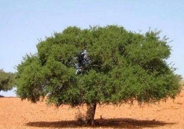 Opération valorisation de l'arganier en cours de concrétisation à Tindouf